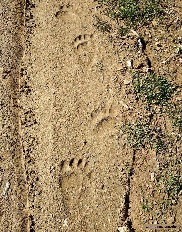 Αισθητή-έχει-κάνει-τις-τελευταίες-ημέρες-την-παρουσία-της-μια-αρκούδα-στα-ορεινά-του-Δήμου-Παγγαίου