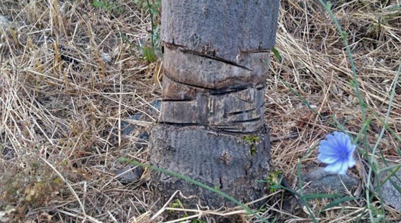 Άγνωστοι-χαράσσουν-τα-δέντρα-στην-περιμετρική-οδό-Καβάλας