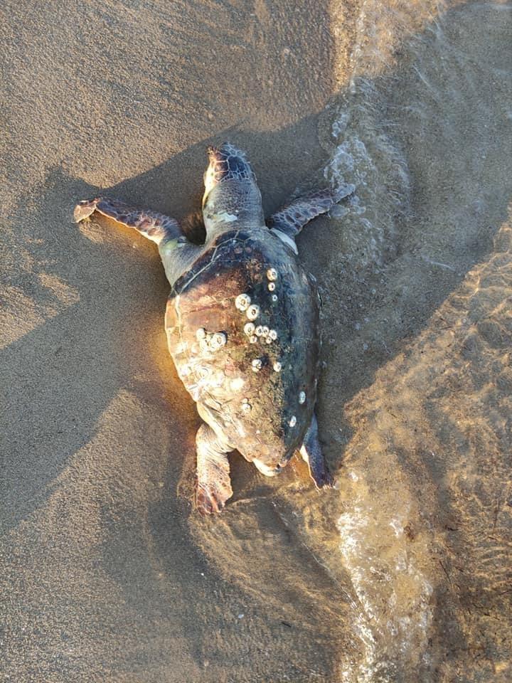 Νεκρή-χελώνα-βρέθηκε-στη-παραλία-της-Κεραμωτής